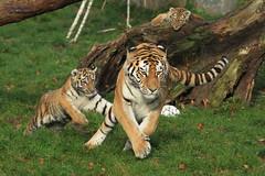 Dasha, Makar and Arila (Noodles Photo) Tags: dasha makar arila zooduisburg pantheratigrisaltaica amurtiger sibirischertiger cubs tierkinder säugetier