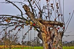 last apples on broken tree (wibblux) Tags: herbst badenwrttemberg decay fruit nature plant tree wood