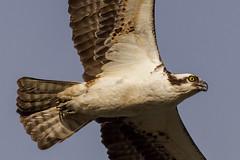 IMG_9429 Osprey (cmsheehyjr) Tags: cmsheehy colemansheehy nature wildlife bird osprey hawk fishhawk richmond virginia jamesriver pandionhaliaetus