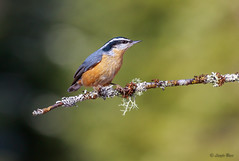 Red-breasted Nuthatch (Islander_16) Tags: redbreastednuthatch bird songbird nature outdoor naturephotography outdoorphotography naturelover