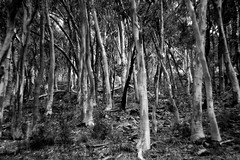 A typical Australian bush scene (rvrossel) Tags: australia canberra australian australianbush gumtrees eucalyptus bush thebush fujixt10 helios44m helios44m58mmf2