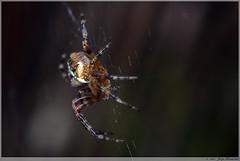 Kruisspin / Garden Spider (Joop Rensema.) Tags: sony tamron tamron90mm tamronspaf90mmf28di sonydslra230 sony230 elementsorganizer