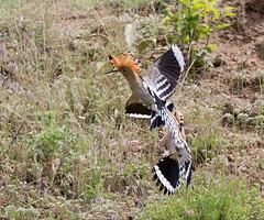 As I'd never seen a Hoopoe before, it was excitng to watch