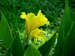 Yellow flower (JSimpson19) Tags: summer usa flower green yellow garden texas yellowflower fortworth botanicgardens fortworthbotanicgardens