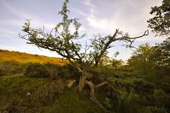 _DSC0290 Battered tree (petefreeman75) Tags: uk england walking heather pools valley moors allrightsreserved pellison petefreeman