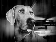 IMG_1340_instant (Aniux2011) Tags: dog pet animal amigo perro weimaraner mascota ldlnoir