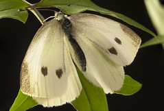 Cabbage white (life was black and white) Tags: macro mamiya insect nikon d2x lepidoptera 80mm