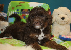 088 Mickey girl 2 800 (jubilee.labradoodles) Tags: pets dogs mi jubilee breeders onsted labradoodles goldendoodles