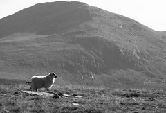 Over the hills (LuckyAdventure) Tags: bw mountain landscape scotland scenery sheep noiretblanc hill lewis hills harris loch mouton tweed isleoflewis outerhebrides