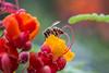 Day 152 - Honey Bee (Big Sky MT) Tags: flower macro canon flora mark iii nevada 100mm bee honey photoaday 5d 365 pollen henderson photoclub 365day zphotoaday