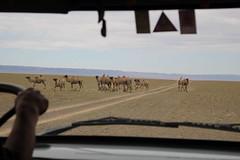 Wild camels, Omnogovi, Mongolia (Myriam Bardino) Tags: mountains desert mongolia camels gobi journeys nomadic gurvan saikhan omnogovi nomadicjourneys