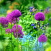 Allium Hollandicum 'Purple Sensation'