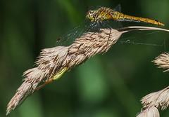 Libelle mit Spinne (alustar99 - offline) Tags: dragonfly spinne libelle mecklenburgvorpommern waren sympetrumvulgatum gemeineheidelibelle mritznationalpark feisnecksee