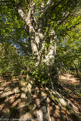 Faggio (Elisa Bistocchi) Tags: travel plant tree nature landscape albero isolated umbria pianta faggio faggeta monteserano
