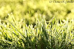 Morning Sunshine Dew on Grass (travelphotographer2003) Tags: morning autumn light usa sunlight green ecology field grass solitude bokeh scenic westvirginia dew serenity highkey relaxation exploration idyllic appalachia freshness appalachianmountains purity tranquilscene alleghenymountains beautyinnature webstercounty pasturefield