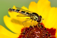DSC_3291 (sylvette.T) Tags: macro insecte 2013 extendertube bagueallonge mygearandme nikond5100 objectifnikon50mm14g