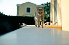 Gatto Gigi (Isabella Pirastu) Tags: animal animals cat garden gatto giardino aimale