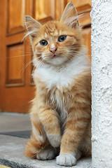 autumn (©Andrey) Tags: autumn zeiss cat t kitten sony 7 gato riga sonnar nex lettonie sel24f18z ilobsterit