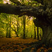 Harry Potter Tree  - (Goblet of Fire movie), Ashridge Forest, UK | Giant Pollarded Beech Tree in Autumn (6 of 9)