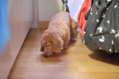 (Yoshinori Matsunaga) Tags: dog pet art japan 35mm japanese nikon mother sigma dachshund osaka d4 85mmf14g