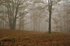 Autumn in The Fog (Stefano Nocentini) Tags: autumn italy mountain fog landscape italia funghi toscana nebbia autunno colori paesaggi montagna beech stefano appennino the beeches faggi lautunno autunnali nocentini