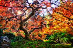 autumn orange color tree fall colors oregon garden portland fire japanese amazing colorful angle branches famous wide curvy twisted