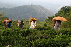 Ramassage du th - Inde (JFranois Srot) Tags: asia adult human asie agriculture himalaya darjeeling peasant inde paysan humain teaplant theaceae adulte contreforts scnedevie cultiver sceneoflife parcelle bengaleoccidental tocultivate thier arbreth