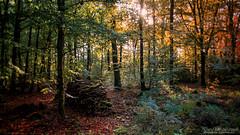 Fins rayons (David-Martinelli-Photos.net) Tags: autumn forest automne woods ngc bretagne breizh fort bzh brocliande sousbois paimpont fortdebrocliande