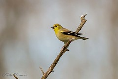 Goldfinch (Tpai1) Tags: bird nature canon bush wildlife goldfinch canon100400mm canon7d