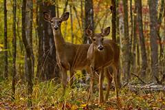 Kiamichi does (Lindell Dillon) Tags: oklahoma nature raw wildlife deer does whitetail beaversbend lindelldillon