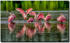 Getting pretty for the Birding Season…. (jeannie'spix) Tags: sanibel spoonbbills