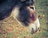(mikper) Tags: sweden schweden natur donkey sverige östergötland åsna hallstadängar
