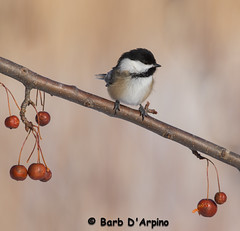 Black-Capped Chickadee (Barb D'Arpino Photography) Tags: autumn ontario canada fall nature outdoors wildlife ngc chickadee northamerica blackcappedchickadee wildlifephotographer wasagabeach poecileatricapillus naturephotographer naturethroughmyeyescom barbaralynne canon1dx copyrightbarbdarpino barbaralynnedarpino blackcappedchickadeeoncrabapplebranch