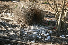 Great Bowerbird's bower (with toy hand grenade), Mount Molloy School (Rowettia) Tags: birds australia queensland chlamyderanuchalis greatbowerbird mountmolloy