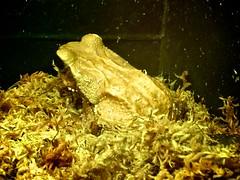 smooth-sided toad (happy via) Tags: zoo myrtlebeach southcarolina toad alligatoradventure smoothsided