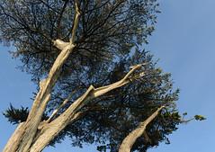 Monterey Bay, CA (simpsongls) Tags: california park tree pine monterey outdoor coastal coastline