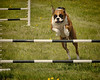 Agility Training Run (`·.¸ Susan .•*´)¸.•*´) Tags: fairgrounds jumping nikon manitoba boxer stonewall d300 agilitycourse 113picturesin2013