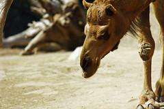 Camel (ncs1984) Tags: california travel usa animal mammal zoo san sandiego diego camel sandiegozoo