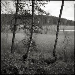 double (Rainer Schlepphorst) Tags: forest d76 birch moor tmax400 birke mamiyac220 schorfheide