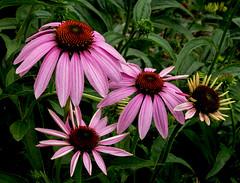 Purple Coneflower (cotarr) Tags: leica pink flowers flash cc coneflower wpp purpleconeflower cameraraw vlux3 topazdenoise topazdetail