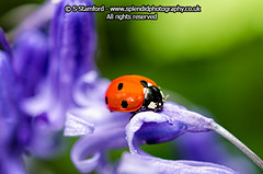 Ladybird on Bluebell (splendid_photography_UK) Tags: macro nature insect spring wildlife ladybird ladybug spotted bluebell