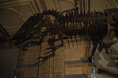 Allosaurus Up Above (CoasterMadMatt) Tags: pictures lighting city uk greatbritain blue shadow england london english history museum skeleton photography fossil chelsea dino natural photos unitedkingdom britain south united capital great may picture cities royal kingdom exhibit east photographs gb borough british kensington southeast artifact naturalhistorymuseum dinosaurs exhibits artifacts zone fossils attraction attractions dinos southkensington 2014 sout allosaurus capitalcity naturalhistorymuseumlondon londonmuseums bluezone royalboroughofkensingtonchelsea may2014 coastermadmatt coastermadmattphotography