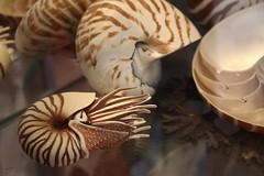 Nautilus (julia_HalleFotoFan) Tags: germany balticsea mecklenburgvorpommern heimatmuseum rerik ostseebadrerik