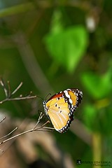 Plain Tiger1