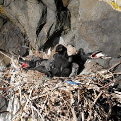 Corvus corax (kaius.artimo) Tags: three nest chicks raven plastics corvuscorax korppi