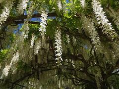 perfumed arch (rospix) Tags: uk flowers white flower nature june wales countryside arch wisteria 2014 rospix