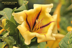 Cup of Gold Vine (Tevaironi) Tags: solandramaxima cupofgoldvine