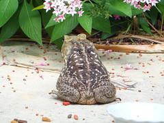 BullfrogCATFOOD (10) (gen-why media) Tags: animals funny florida amphibian catfood chron bufo genwhy bullfrong