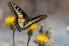 Striking Blue Spotted Swallowtail (Explored 6-29-14) (MelRoseJ) Tags: california nature northerncalifornia butterfly unitedstates sony sanrafael swallowtail sonyalpha abigfave sal70400g a77ii sonyilca77m2
