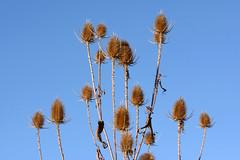 Cardo dei lanaioli () Tags: cardo dei lanaioli dipsacus sativus cardi